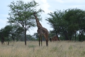A male giraffe just hanging out.