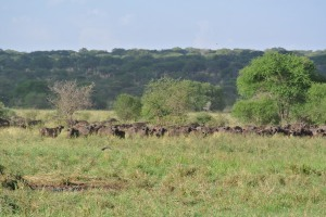 A herd of Cape Buffalo in the watering hole.