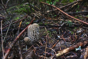 Blondies do not hide in the forest as well as the brown morels.  They taste awesome though.  My favorite of the morel species to find.