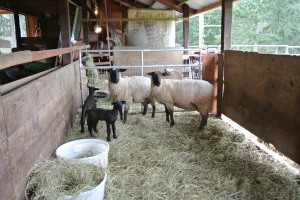 Here is what they look like at the Dovenburg Farm before