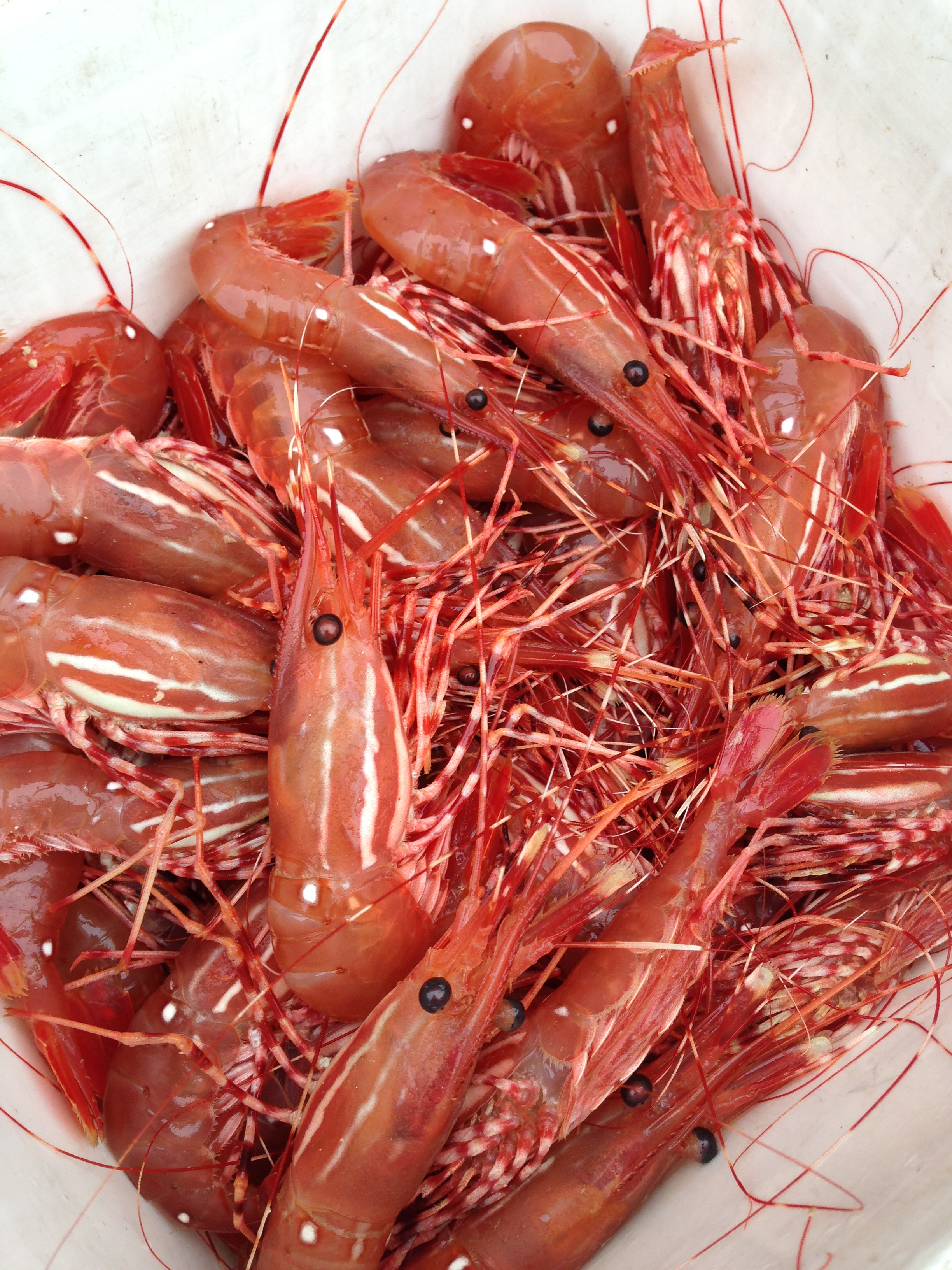 Return to the Hood Canal for Spotted Shrimp