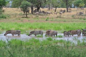Zebras at the water hole, where we would often eat lunch and watch all the animals come to drink.