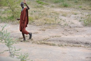 A Massai tending to his cattle with spear in hand