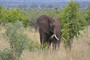 A young bull elephant just eating some grass and not moving out of the way