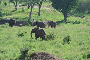 A herd of bull elephants.