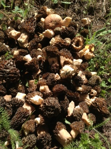 Two hours of picking 193 morels.