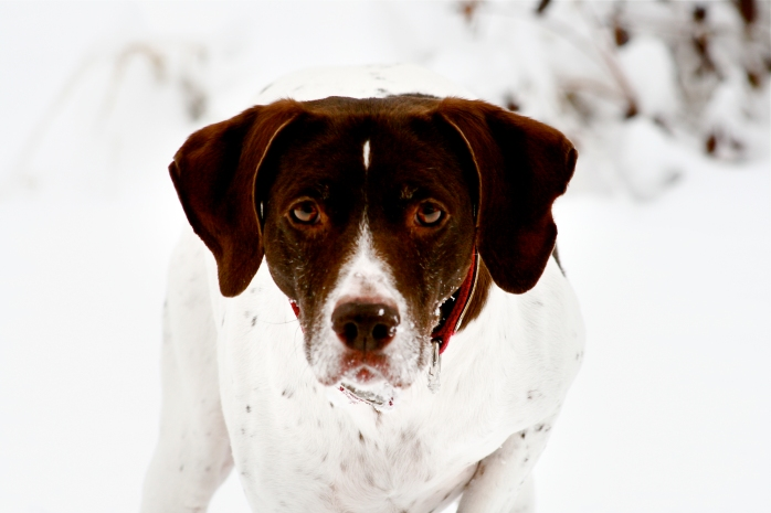 Tanner, a German Shorthair Pointer.  17 years old. The miracle dog.
